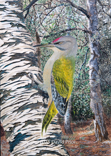 Grey Headed Woodpecker in Birch Forest - Collectors Edition