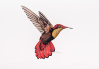 Ruby Topaz Hummingbird A4