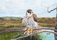 Juvenile Hobby on the Somerset Levels - Collectors Edition