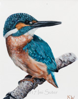 Kingfisher on White