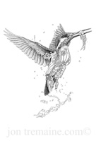 Kingfisher (Flying)